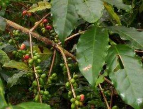 ... tierra generosa que huele a café.