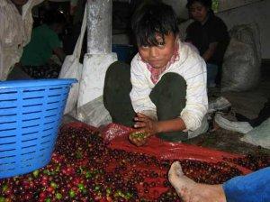 Los niños se sientan en el suelo a separar los granos rojos de los verdes. El abuso en contra de estos trabajadores es poco denunciado.