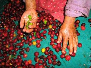 Manos infantiles de origen guetemalteco colaboran en la recolección de los granos de café en las fincas cafetaleras de Chiapas.